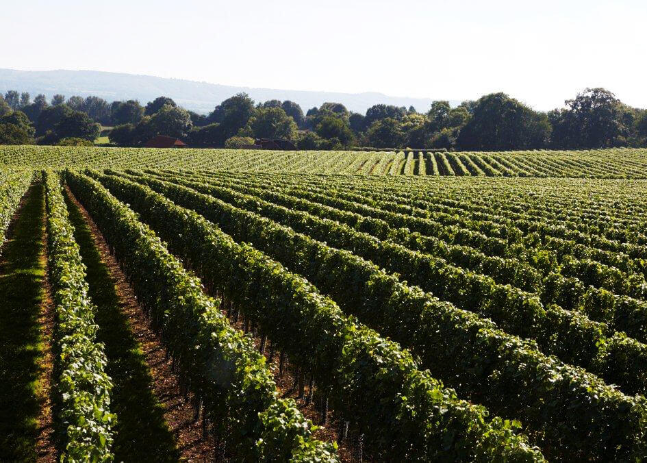 Ambriel west sussex vineyard